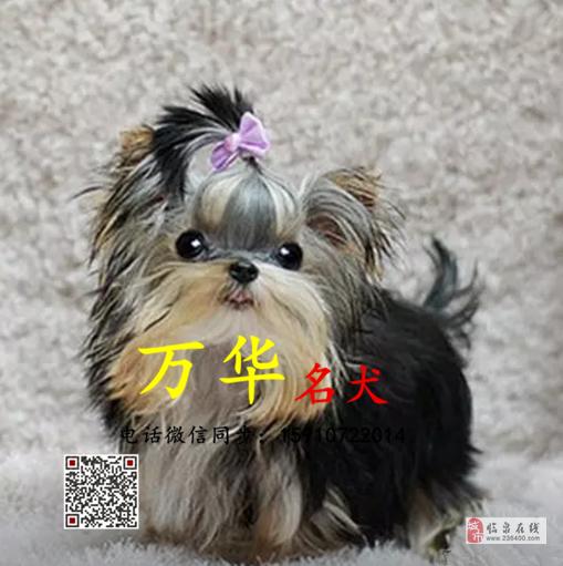 纯种约克夏幼犬多少钱约克夏幼犬出售约克夏犬舍
