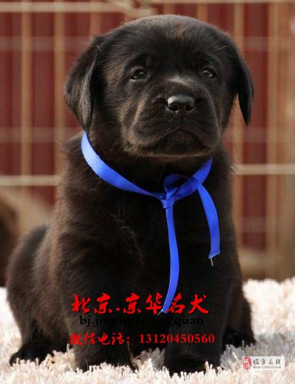 赛级博美幼犬出售哈多利球体博美价格
