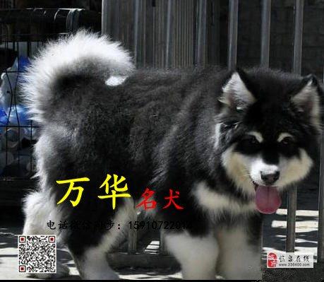 赛级阿拉斯加多少钱一只熊版阿拉斯加幼犬出售