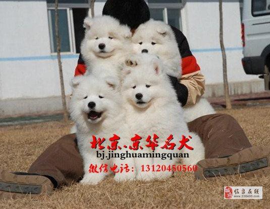 纯种赛级萨摩幼犬萨摩多少钱萨摩犬舍