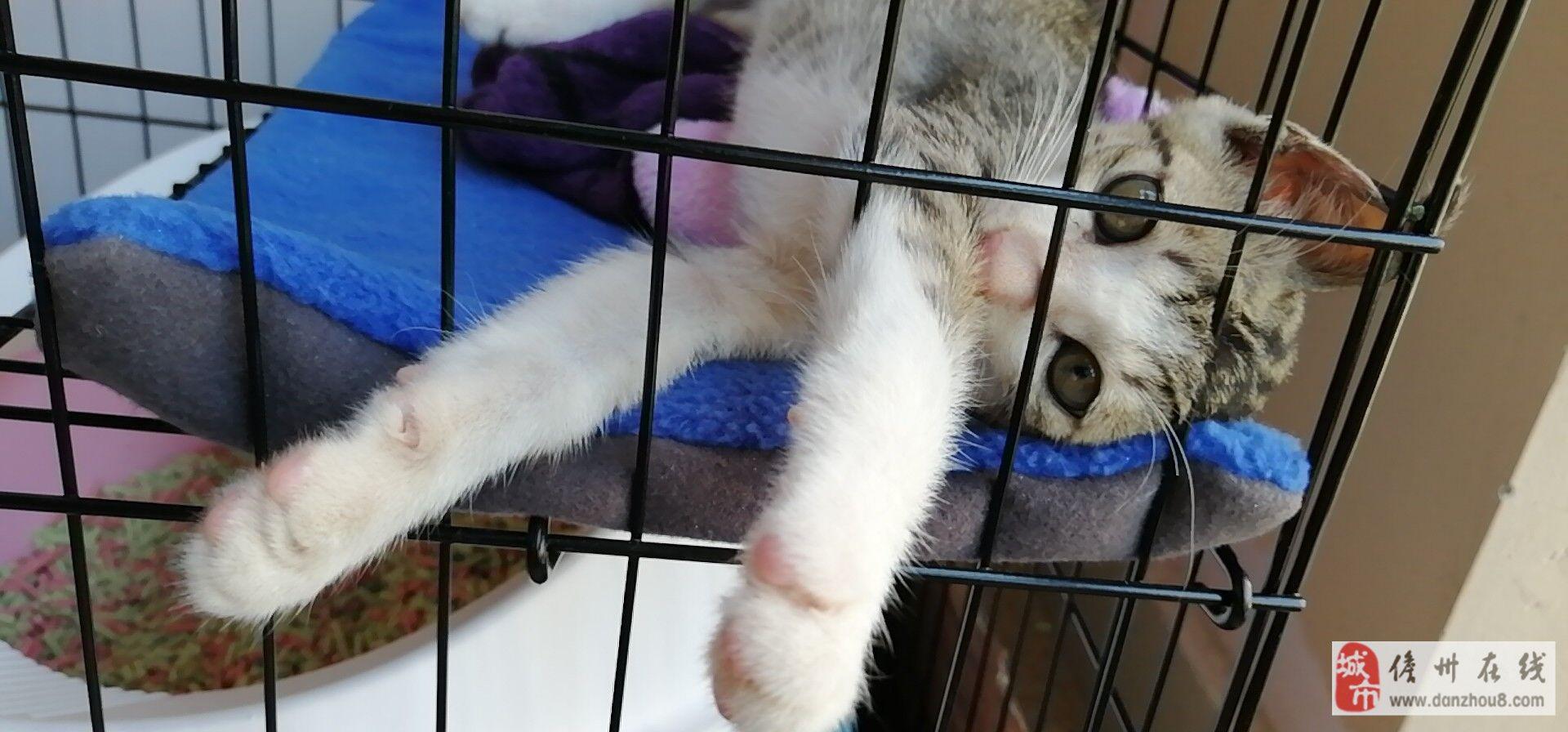 赠�K送一只两个月大的狸花猫∴