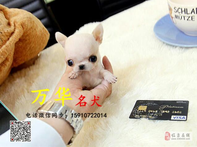 三个月大吉娃娃好养活吗吉娃娃幼犬多少钱一只