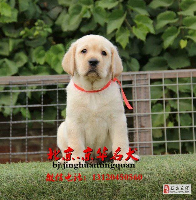 北京出售纯种拉布拉多幼犬拉布拉多好养吗