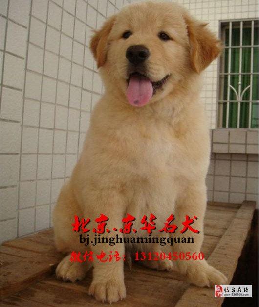 北京哪卖纯种金毛犬美系大头金毛枫叶系金毛