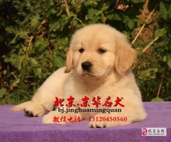 纯种枫叶系金毛幼犬多少钱双血统金毛多少钱
