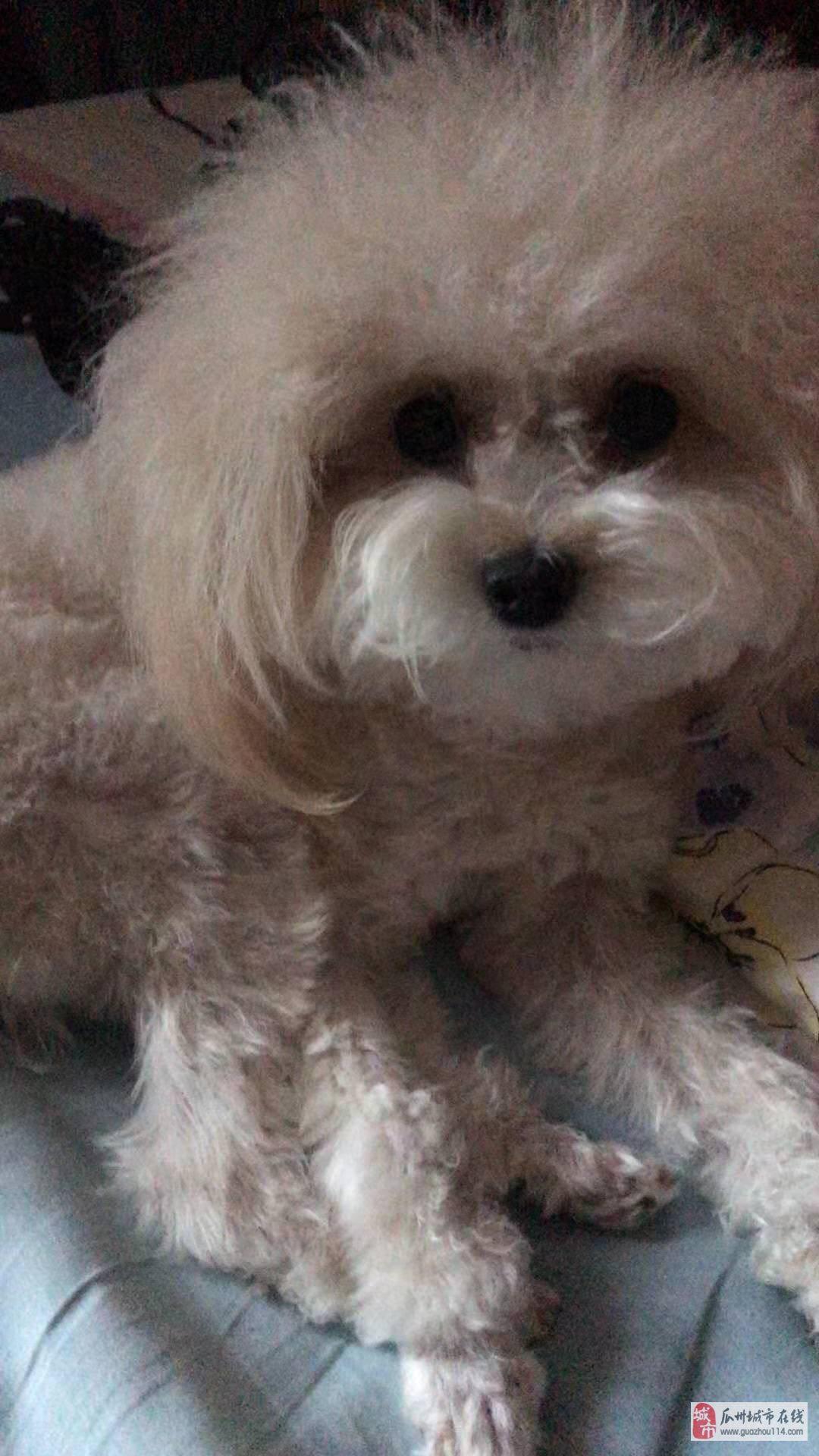 愛犬于前幾天在廣匯加氣站附近不幸走失