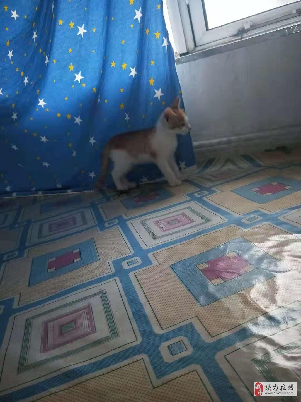 出售小貓咪,一個多月,可以吃貓糧了