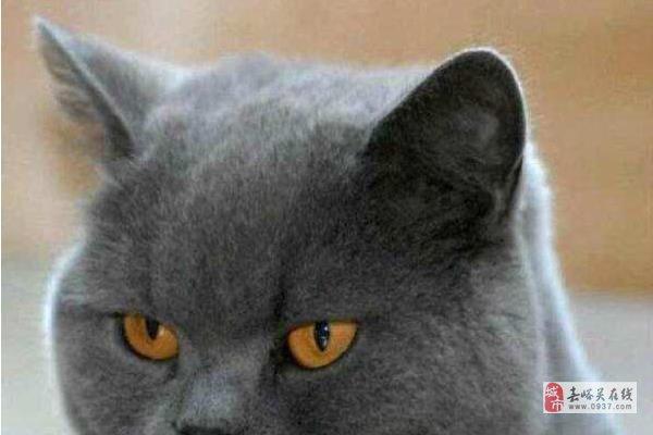 出售英國短毛貓咪