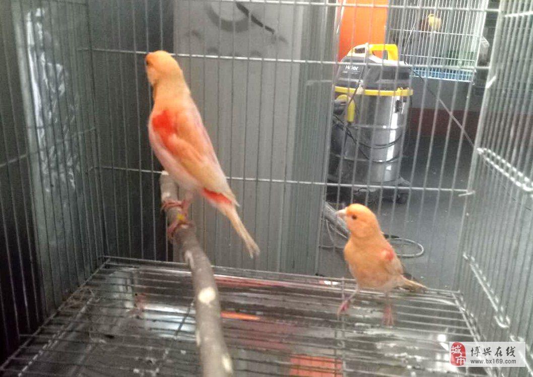 觀賞鳥寵物鳥