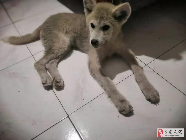 剛買的秋田犬,沒耐心,不想養了,有要的來