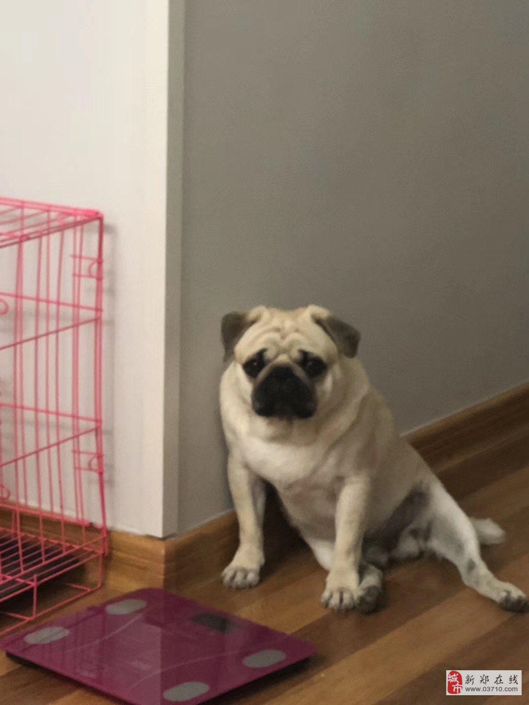 感謝金2000元尋回愛犬米白色八哥犬公