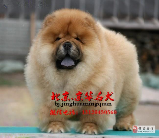 出售纯种松狮幼犬松狮图片松狮能涨多大
