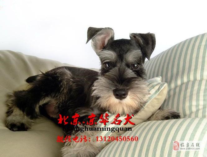 北京哪里有卖纯种博美幼犬博美价格博美掉毛吗