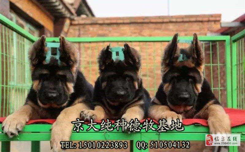 北京牧羊犬价格三个月德牧幼犬出售德牧犬舍