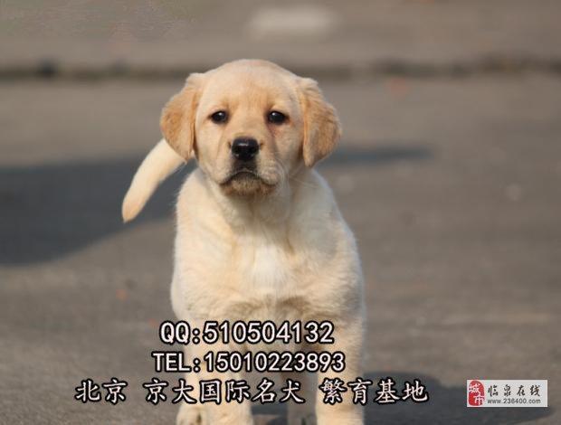 赛级拉布拉多犬北京拉布拉多犬舍