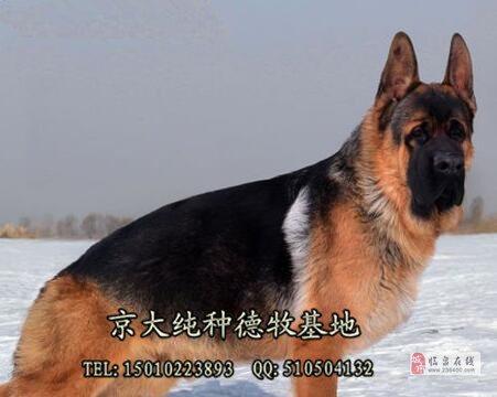 北京锤系德牧大头版大骨量黑脸大塞皮京大犬业