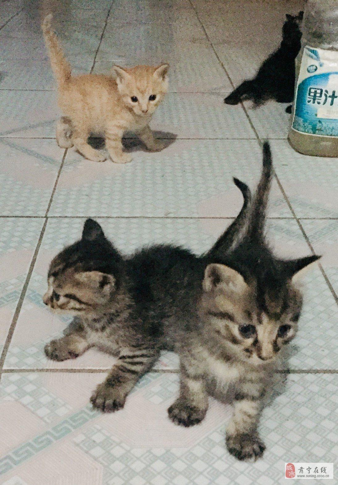 家養小貓出售
