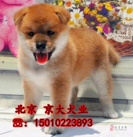 赛级日系柴犬价格纯种柴犬图片柴犬一窝出售
