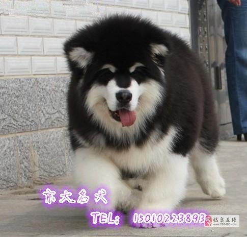 熊版阿拉斯加犬北京市赛级阿拉斯加幼犬
