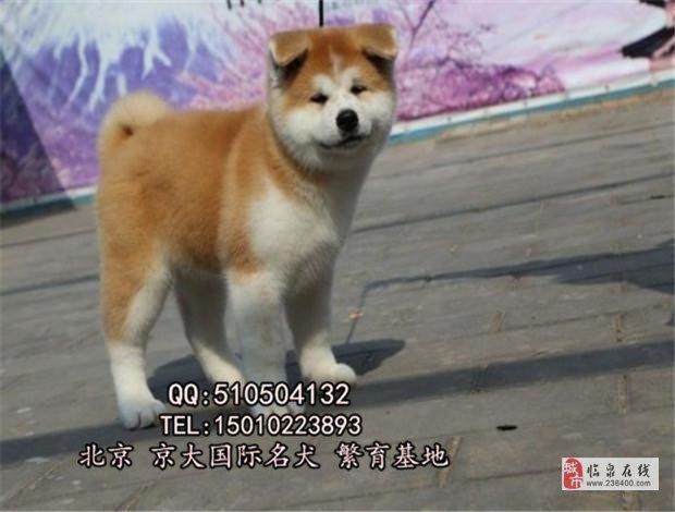 赛级日系北京秋田犬保质量签订终身协议