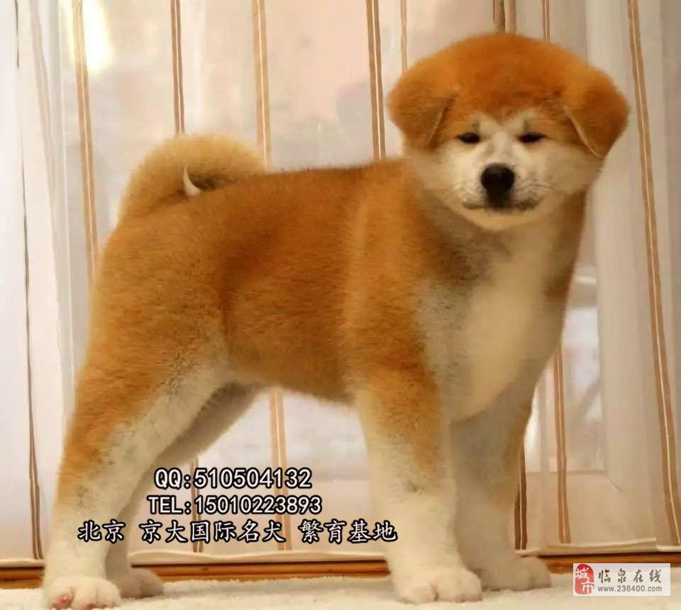 北京秋田纯种秋田犬秋田犬图片北京到哪买纯种秋田