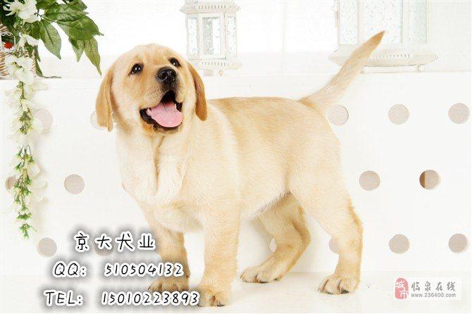 赛级拉布拉多犬北京出售纯种拉布拉多,颜色齐全