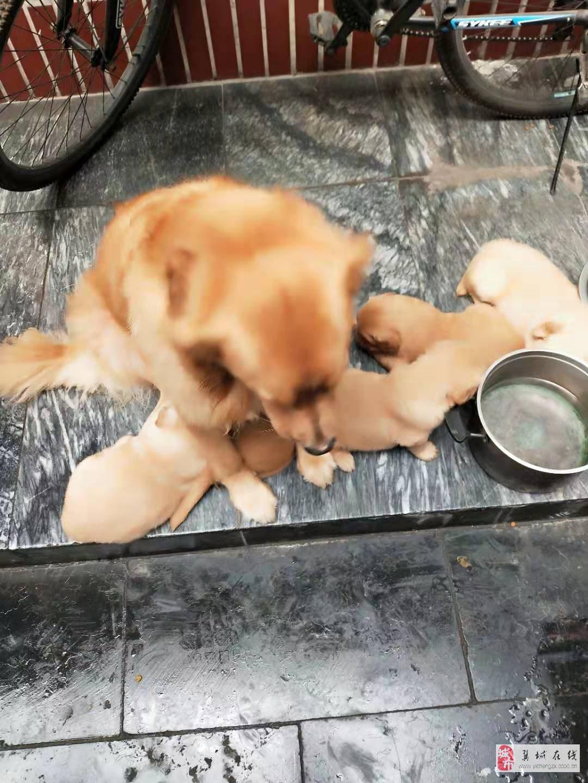 出售金毛犬