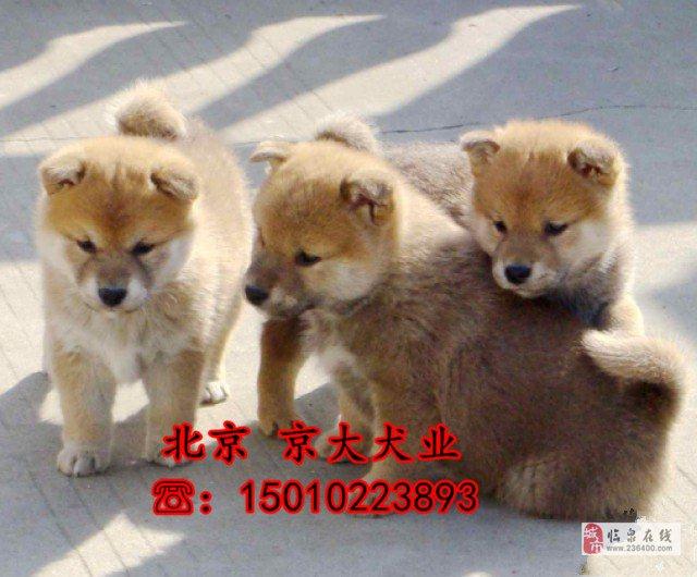 赛级柴犬三个月纯种柴犬幼犬出售柴犬基地