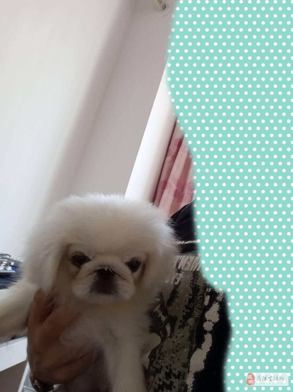 出售一只白色京巴犬