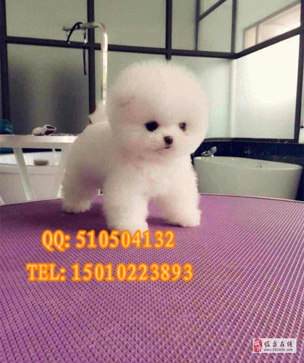 北京市博美犬賽級博美幼犬出售北京博美犬舍