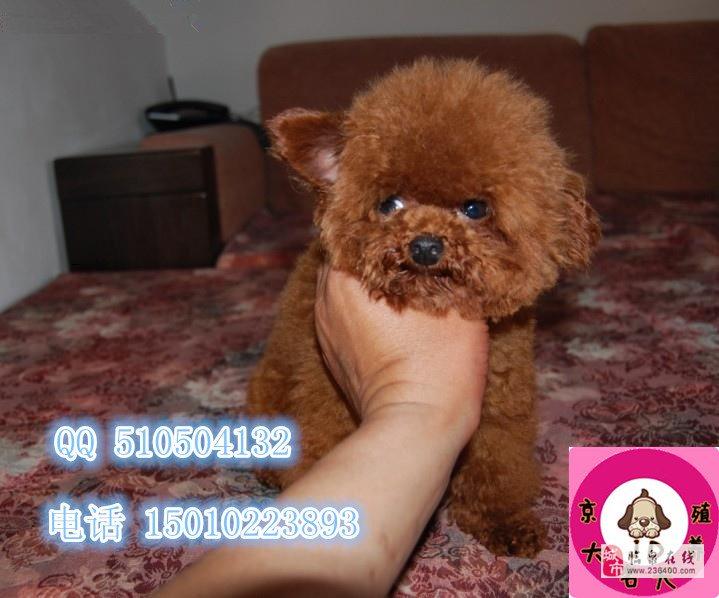 純種泰迪犬三個月純種泰迪價格泰迪犬舍