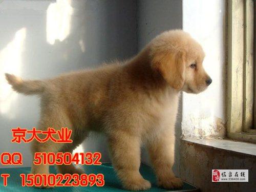 北京市金毛犬賽級金毛價格純種金毛幼犬出售