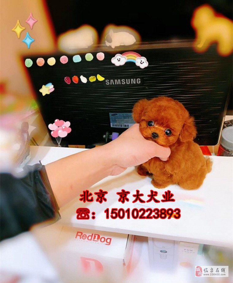 茶杯泰迪犬北京市泰迪價格泰迪幼犬出售