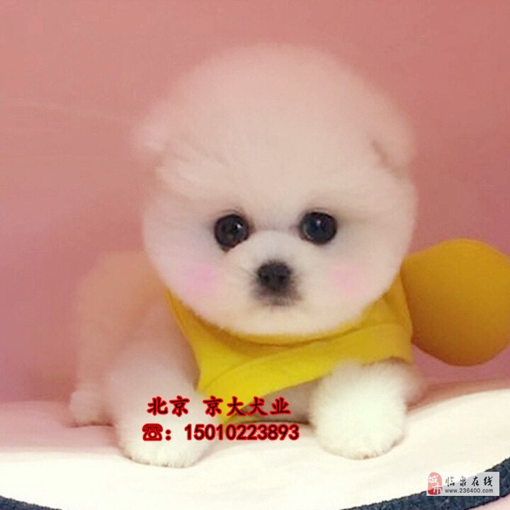 北京市博美犬球體賽級博美價格北京博美犬舍