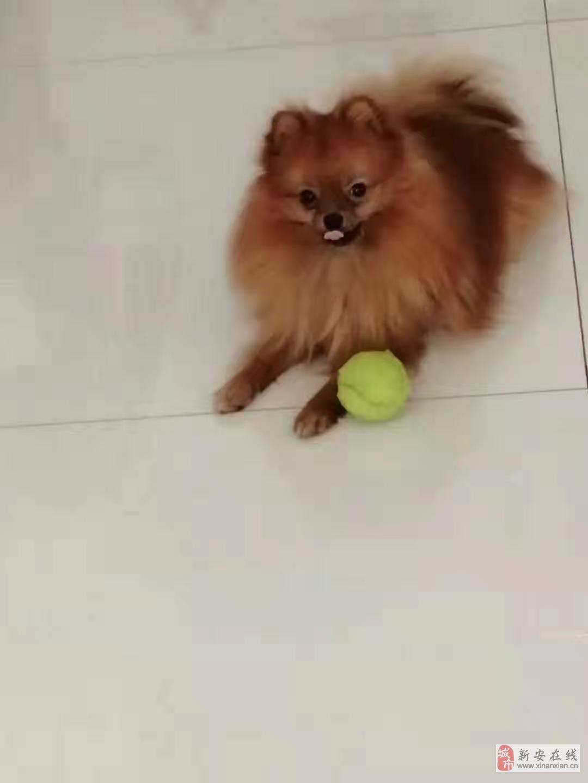出售爱犬一只
