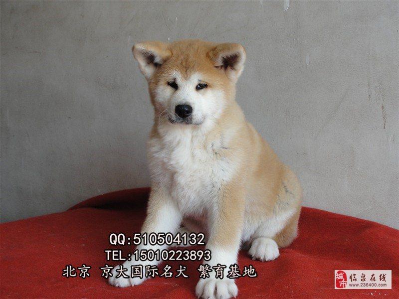 赛级秋田犬北京秋田幼犬出售秋田犬舍