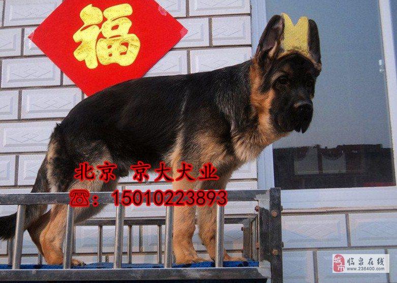 锤系德牧犬北京市德牧价格德牧幼犬出售