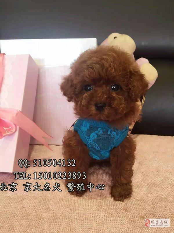 纯种泰迪犬赛级泰迪价格北京市泰迪幼犬出售