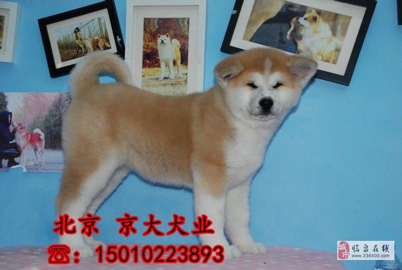 赛级秋田犬三个月纯种秋田幼犬出售秋田幼犬出售