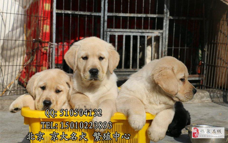 賽級拉布拉多犬北京市拉布拉多幼犬出售京大犬業