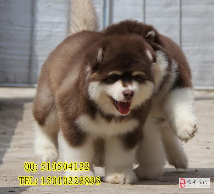 熊版阿拉斯加犬賽級阿拉斯加價格京大犬業