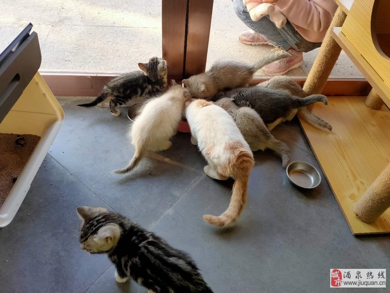 英短、美短、漸層歡迎擼貓,出售