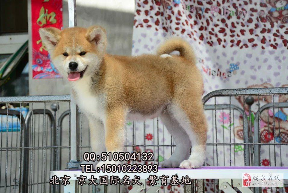 賽級秋田犬三個月秋田幼犬出售秋田犬舍
