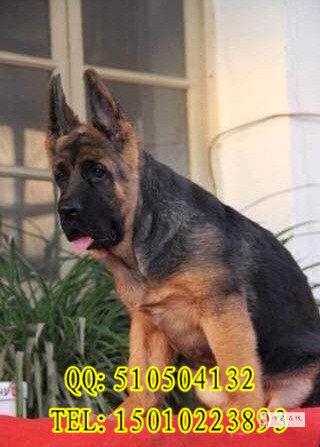 北京市德牧犬錘系大頭德牧幼犬出售德牧多少錢一只