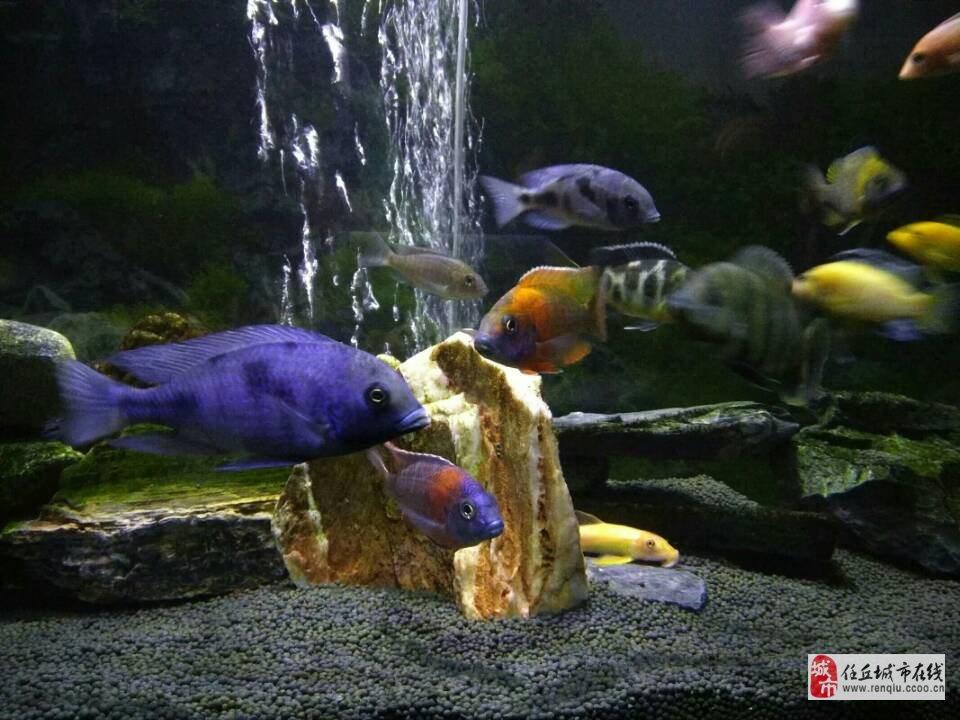 三湖慈鯛出售