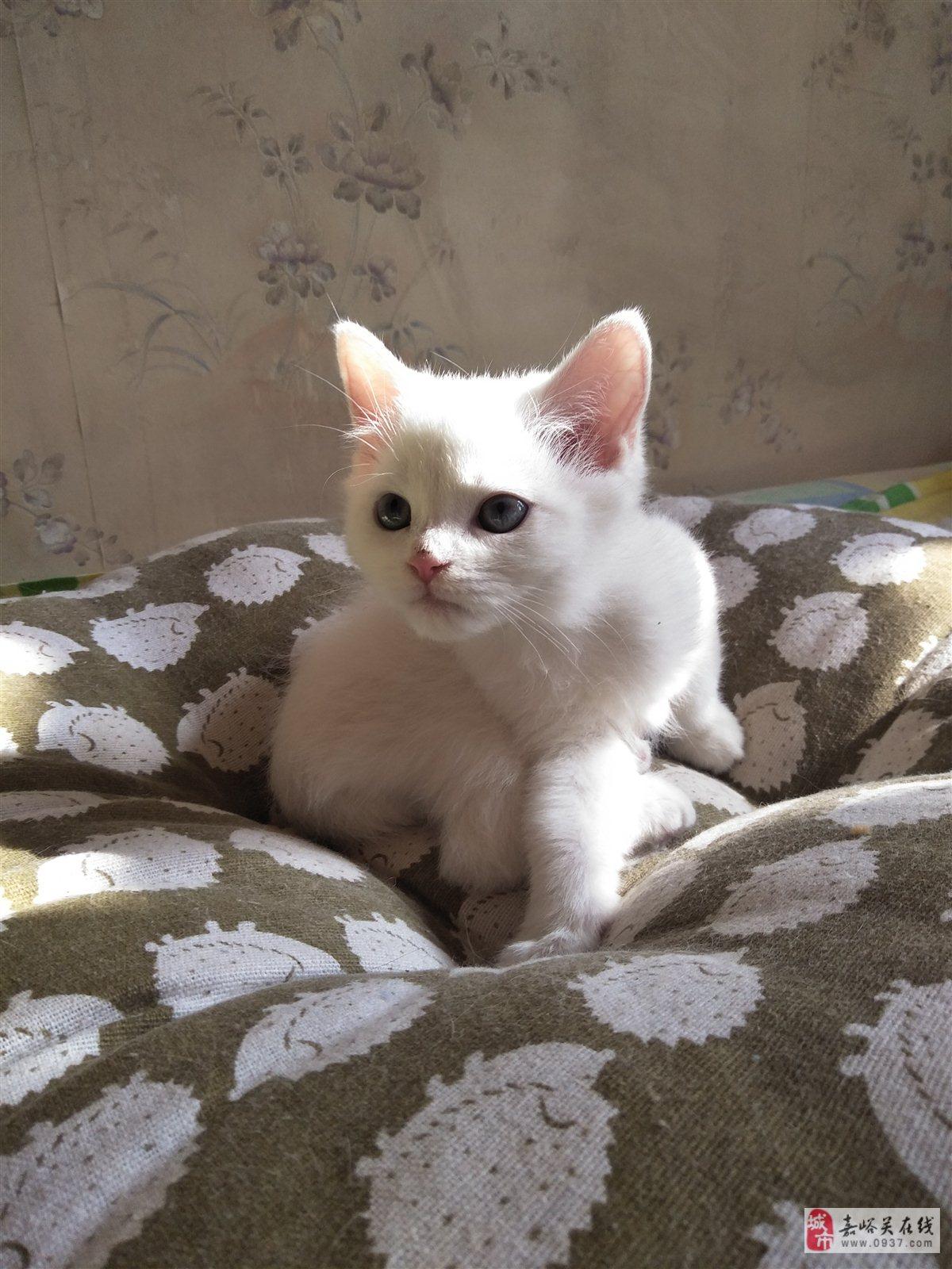 出售66天小猫咪