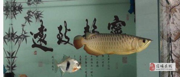 出一條金龍魚 仟湖過背