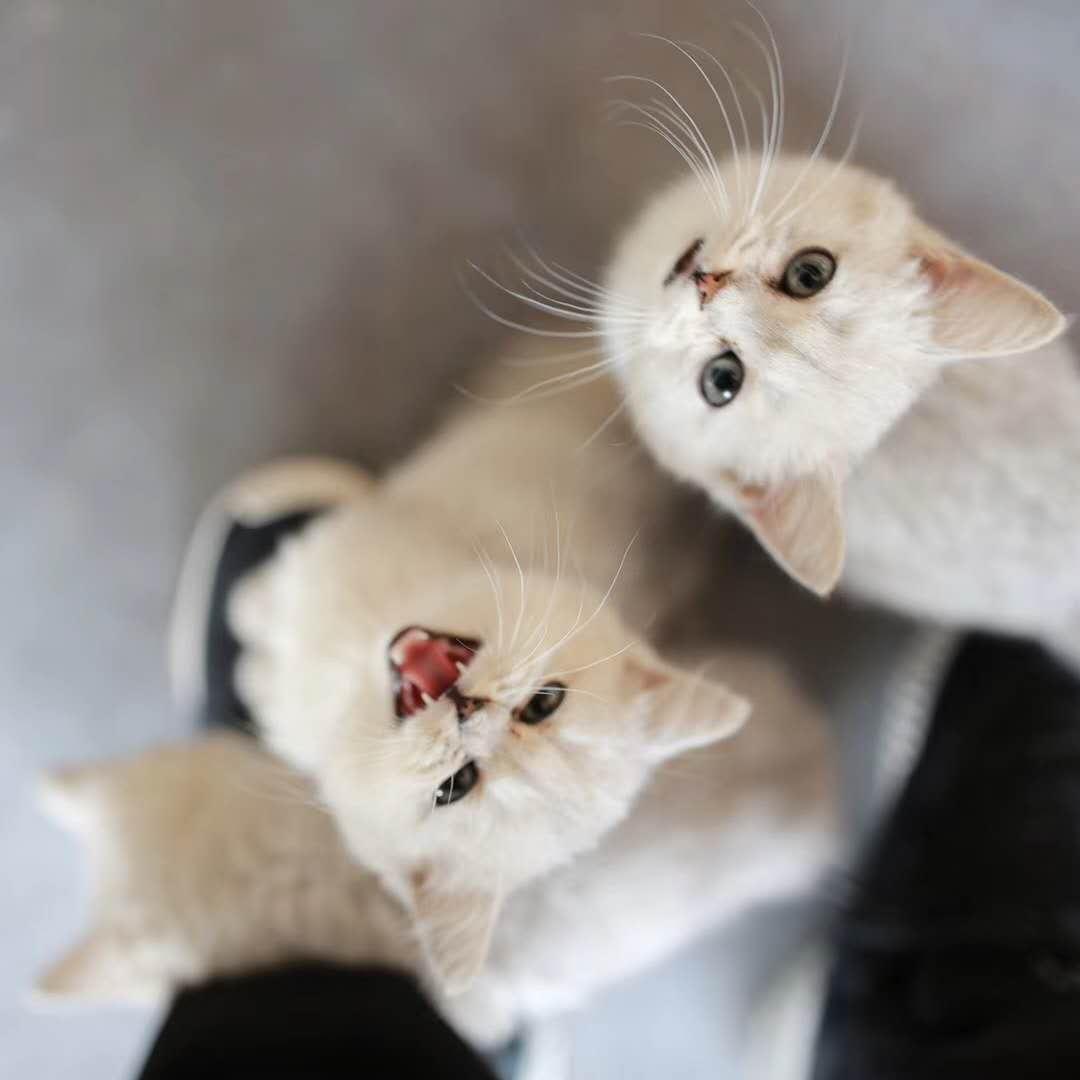 出售英短藍貓、藍白、漸層