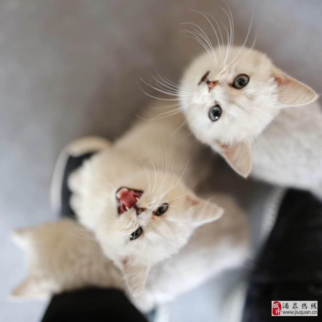 英短、美短、渐层欢迎撸猫,出售