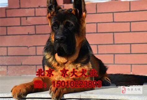 錘系德牧犬北京市大頭德牧幼犬出售德牧犬舍